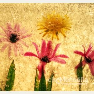 fiori-nel-ghiaccio-1